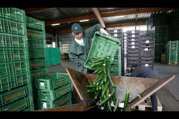 Un cultivateur détruit ses concombres en Autriche