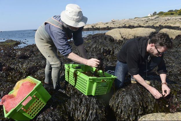 Récolte d'algues à Trégunc, en Bretagne, en avril 2017.