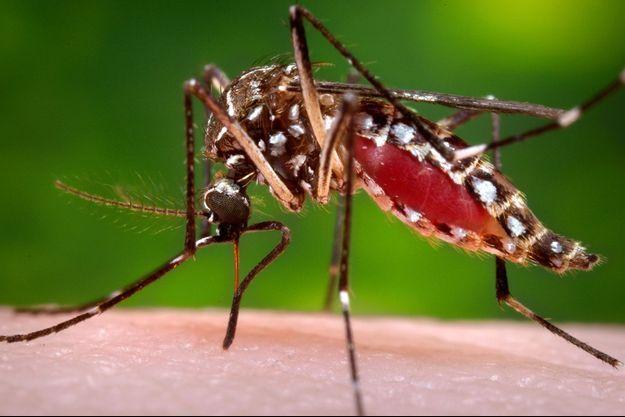 Une femelle moustique tigre.