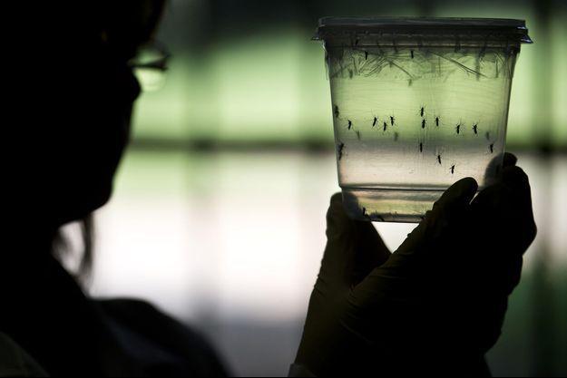 Des moustiques Aedes aegypti dans un laboratoire de l'université de Sao Paulo, au Brésil.