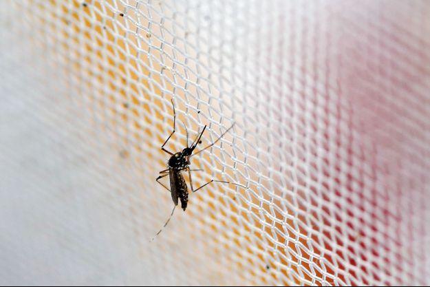 moustique de type Aedes porteur du virus Zika