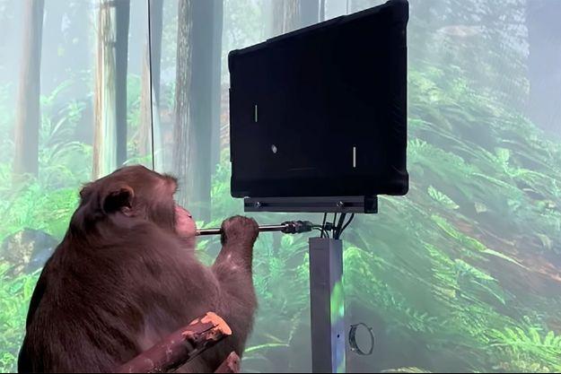Le macaque utilisé dans l'expérience de Neuralink.