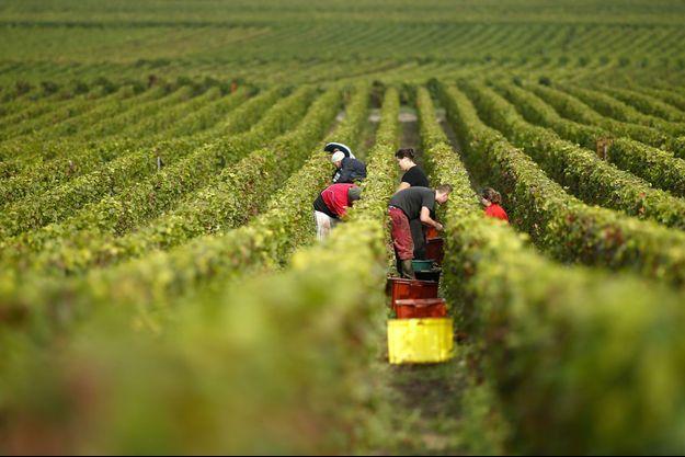 Récolte du champagne en octobre 2013. Le célèbre vin effervescent est l'un des produits viticoles qui absorbe le plus de recherche et développement.