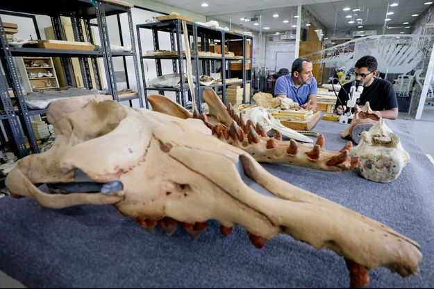 """Le fossile de """"Fioumicetus anubis"""", trouvé au Fayoum, au sud du Caire."""