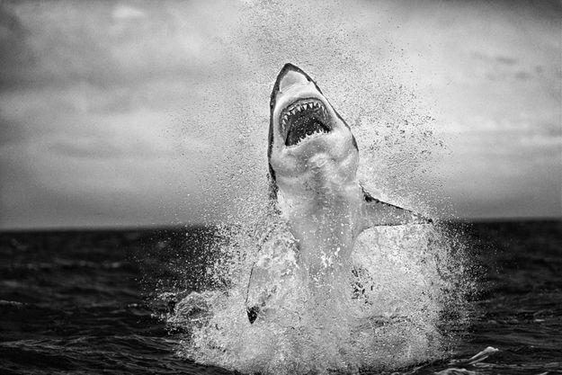 Un grand requin blanc, principal suspect dans l'attaque survenue il y a 3000 ans au Japon.