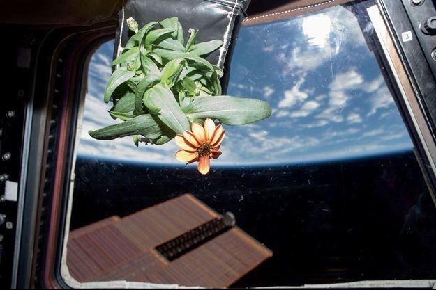 Une fleur de zinnia à bord de l'ISS, en 2016.