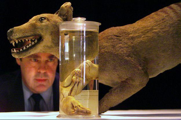 Un biologiste regarde un tigre de Tasmanie préservé depuis 134 dans un bocal.