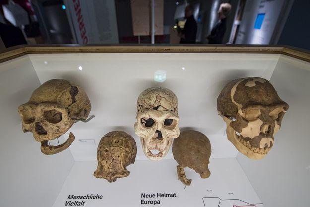 Fragments d'Homo erectus exposés en Allemagne.