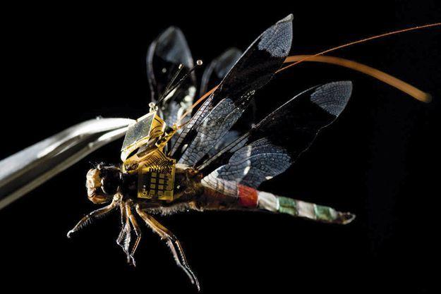 Sur le dos de cette libellule vivante, un système de pilotage mis au point par des Américains. Les chercheurs ont greffé des « neurones de direction » dans sa moelle épinière pour télécommander l'animal.
