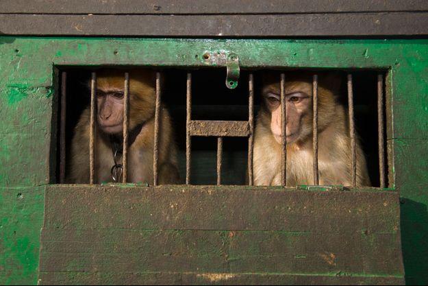 Des macaques en cage