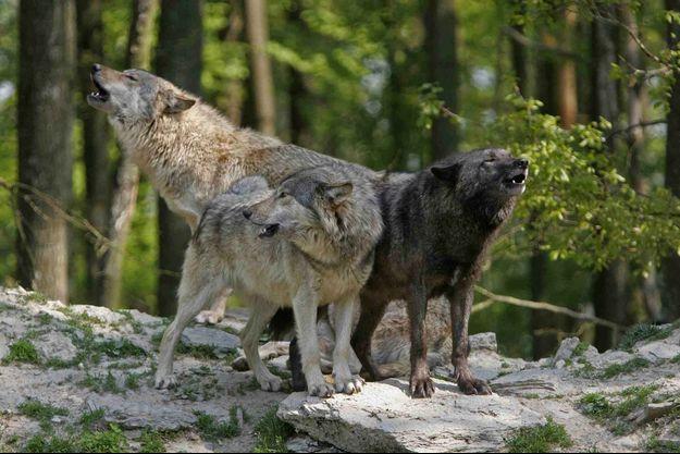 Trois loups (image d'illustration).