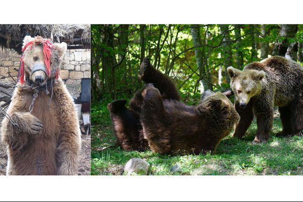 Avant/après : libérés de leurs chaînes, les ours vivent désormais une retraite paisible à Belitsa.