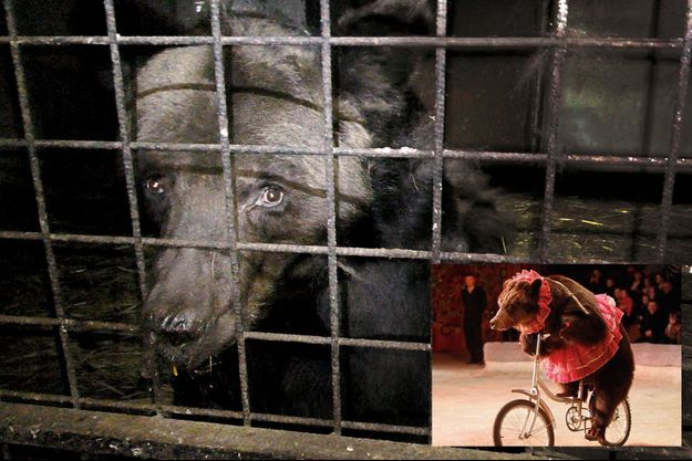 Mischa, 22 ans, dans son enclos chez les Poliakov, les Thénardier du dressage, dans le Perche, en 2019. Une photo diffusée par l'association pour la protection animale One Voice. En médaillon: Sous sa muselière, Mischa peut à peine respirer : la collerette cache la marque de la chaîne.