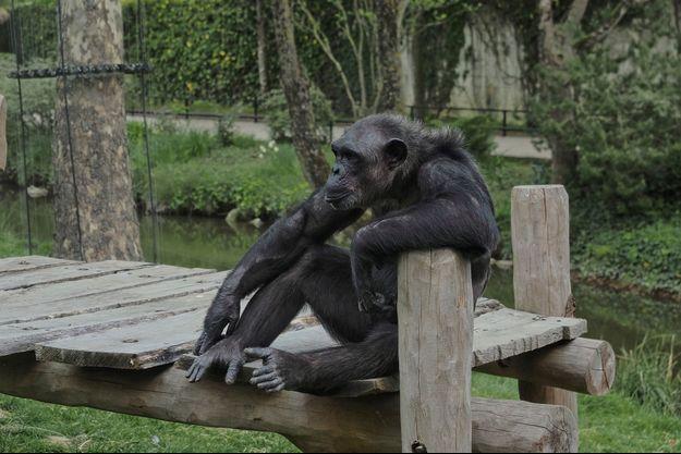Ici un chimpanzé du Zoo de Beauval, lors du premier confinement en avril 2020.