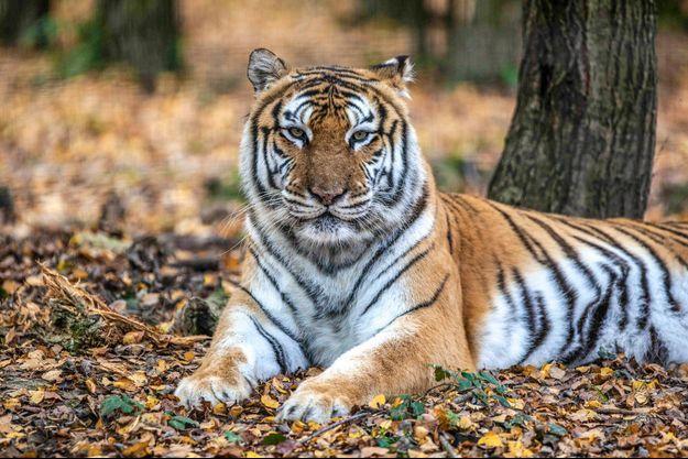 """Un tigre qui s'était échappé d'un cirque vendredi en fin d'après-midi dans le XVe arrondissement de Paris a été """"neutralisé"""" (image d'illustration)"""