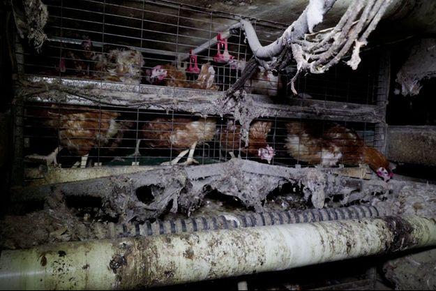 A Chambly, dans l'Oise, l'élevage de poules pondeuses dévoilé par L214.