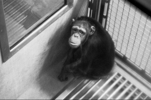 En 2014, plus de 5500 primates ont été expédiés vers les laboratoires.