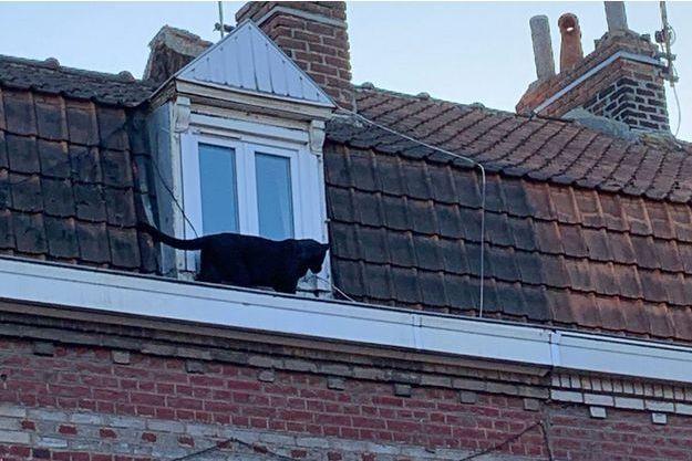 La panthère noire la semaine dernière sur le toit d'un immeuble d'Armentières.
