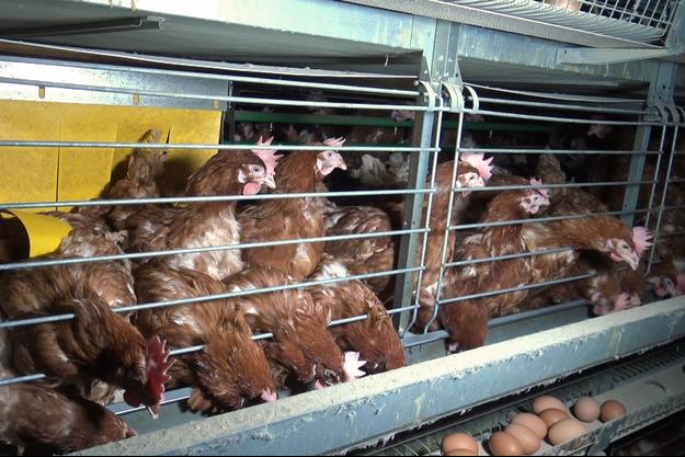 Un élevage de poules pondeuses dans les Côtes d'Armor, décembre 2017.