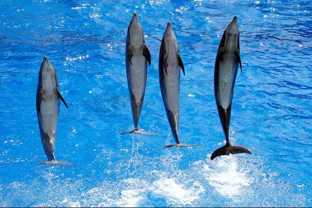 Des dauphins lors d'un spectacle à Antibes.