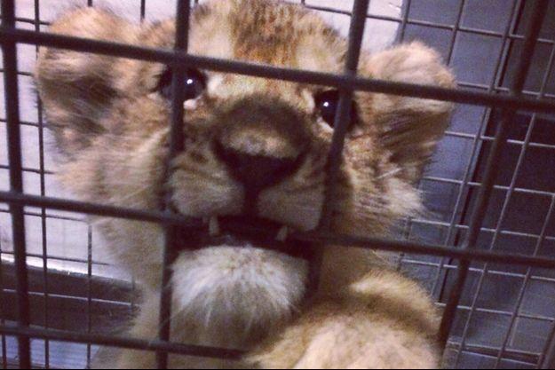 Le petite lionceau a été découvert à bord d'une voiture de luxe.
