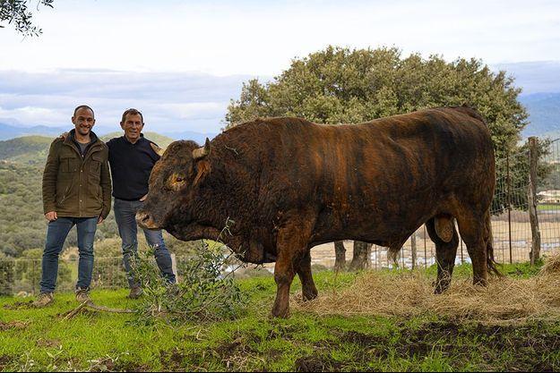 Taureau saïtana de Jacques et Antoine Abbatucci, à Serra-di-Ferro, Corse. Père et fils ont remis au goût du jour la vache tigrée. Ici, Kiki, 5 ans, 600 kilos, reproducteur.