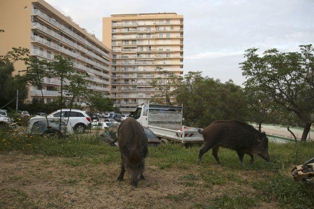 Dans Ajaccio confinée, les sangliers profitent de la ville.