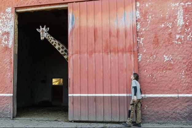 Ici une girafe du zoo de Bordeaux-Pessac en avril 2020