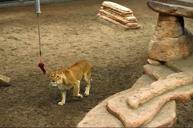 Une lionne dans un cirque.