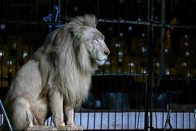 Un lion dans un cirque (image d'illustration).