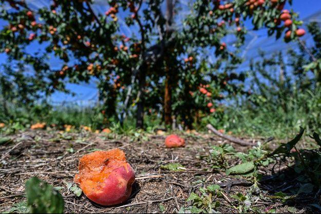 Les récoltes ravagées dans la Drôme.