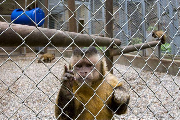 Photo prise au centre de primatologie en 2009. Deux tiers des 630 animaux sont destinés aux laboratoires médicaux.