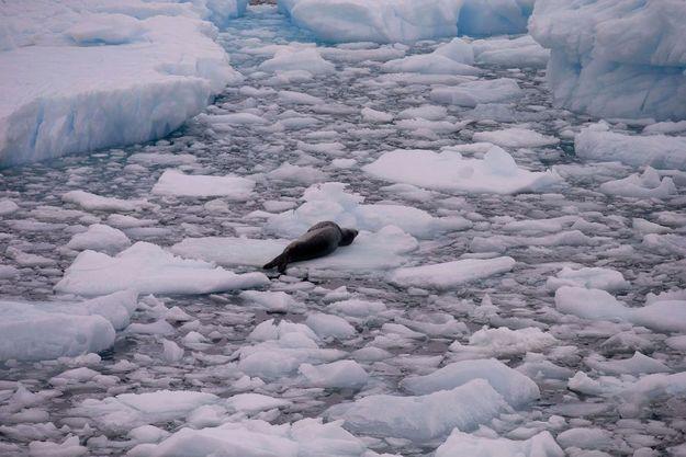 Le corps d'un léopard de mer, en Antarctique, le 22 janvier 2015.