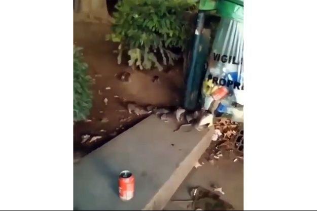 Capture d'écran de la vidéo de rats virale.