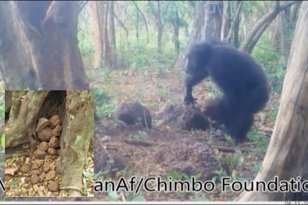 Un chimpanzé tient la lourde pierre avec laquelle il s'apprête à frapper l'arbre.