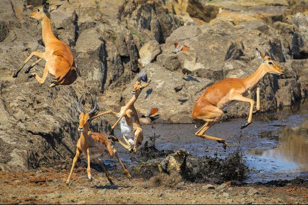 Crocodile et impalas