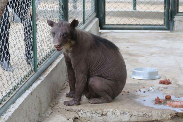 Cholita l'ourse à lunette sauvé d'un cirque péruvien.