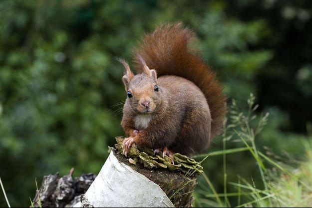 Un écureuil sur une branche en Normandie