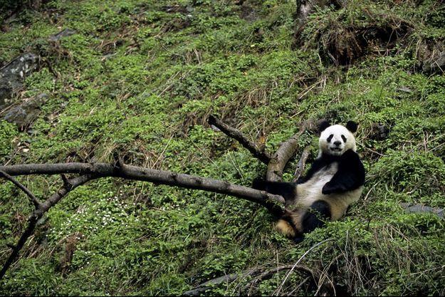 Un panda géant dans la réserve du Sichuan, en Chine.