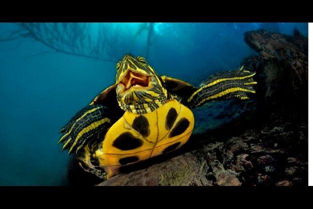 La tortue de Floride, agressive comme un tigre. Dans la nature, elle n'a rien d'une bestiole d'aquarium. Celle-ci mesure une trentaine de centimètres de diamètre. La plus grosse jamais capturée en Europe pesait 25 kilos.