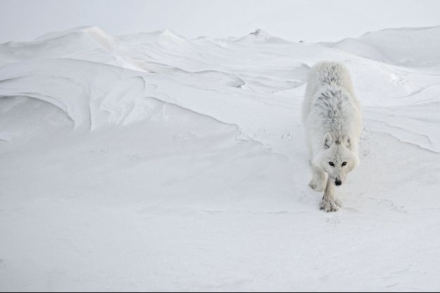 Un loup s'approche, le museau taché du sang d'une proie récente. Durant deux jours, il va suivre Vincent comme un chien fidèle.