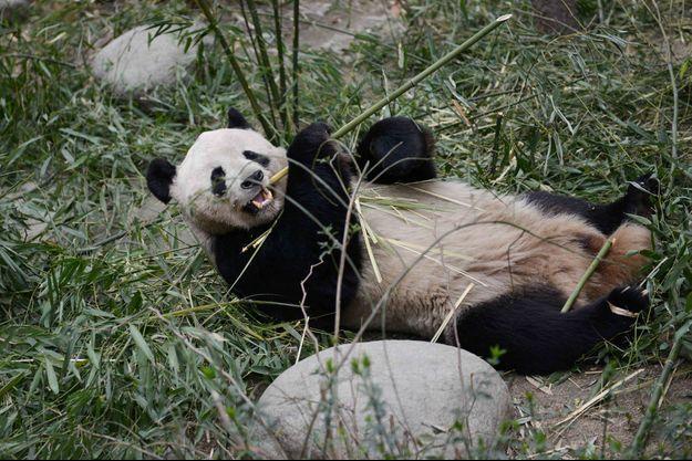 Un Chinois a obtenu plus de 80.000 euros de dédommagement après avoir été mordu par un panda.