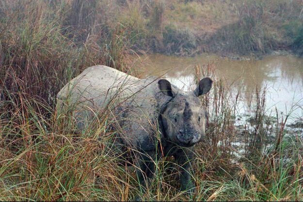 Un rhinocéros s'est échappé du parc national de Chitwan, au Népal, tuant une femme (image d'illustration).