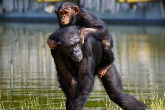 Un chimpanzé et son petit, photographiés à La Palmyre