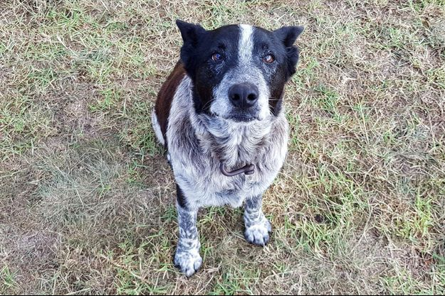 Max est un Blue Heeler de 17 ans