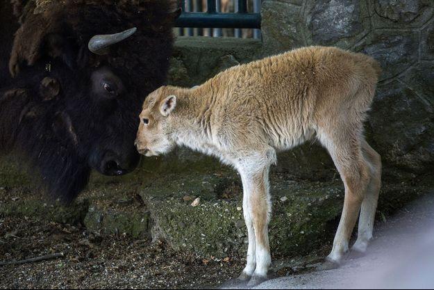Dusanka, la bisonne blanche, est née il y a quelques jours en Serbie.