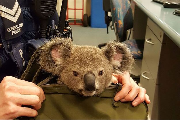 Le petit Koala est resté très calme
