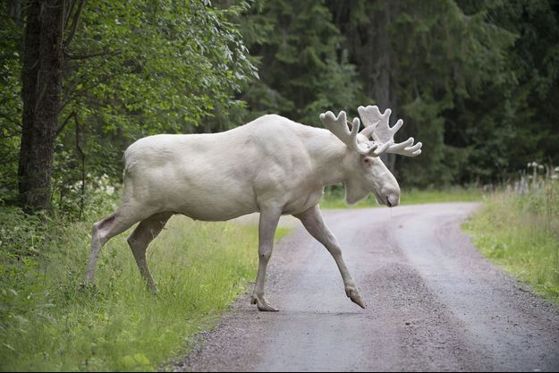 L'élan blanc photographié le 31 juillet à Gunnarskog, en Suède.