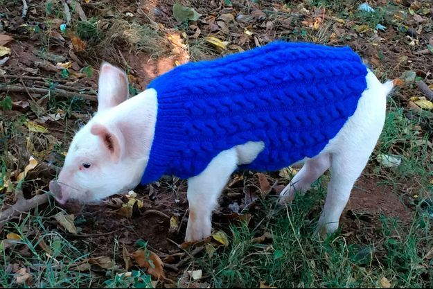 Charlotte, le petit cochon