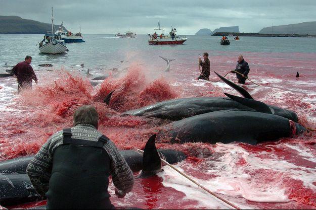 Chaque année, le Grindadráp tue des centaines de baleines pilotes. Ici, en 2012, le sang a changé la couleur de l'eau.